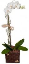 Orquidea no Caxepú Rustico